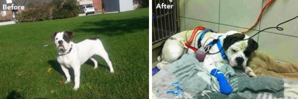 Tonka before getting shot and after. Photo Credit: Toronto Police Department