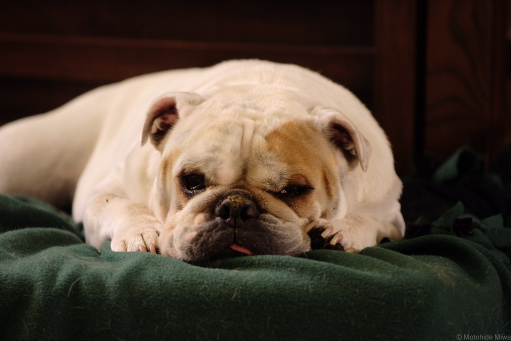 english bulldog health issues common health issues in english bulldogs 6534