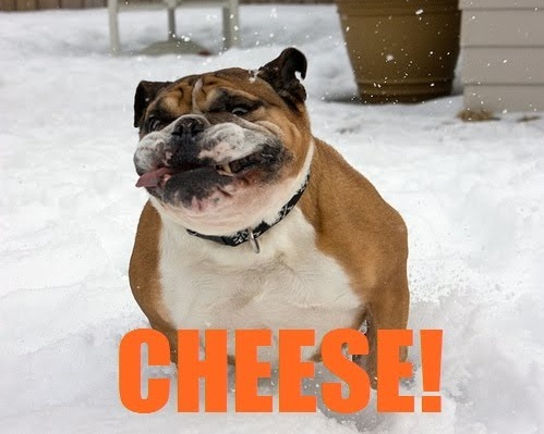 funny-bulldog-cheese-smile