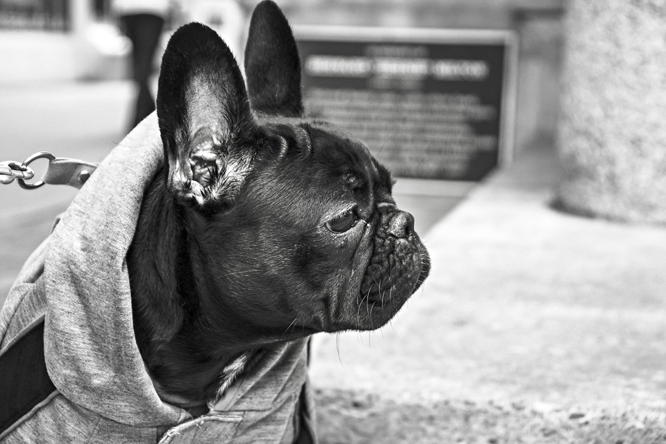 bulldog-238514_960_720