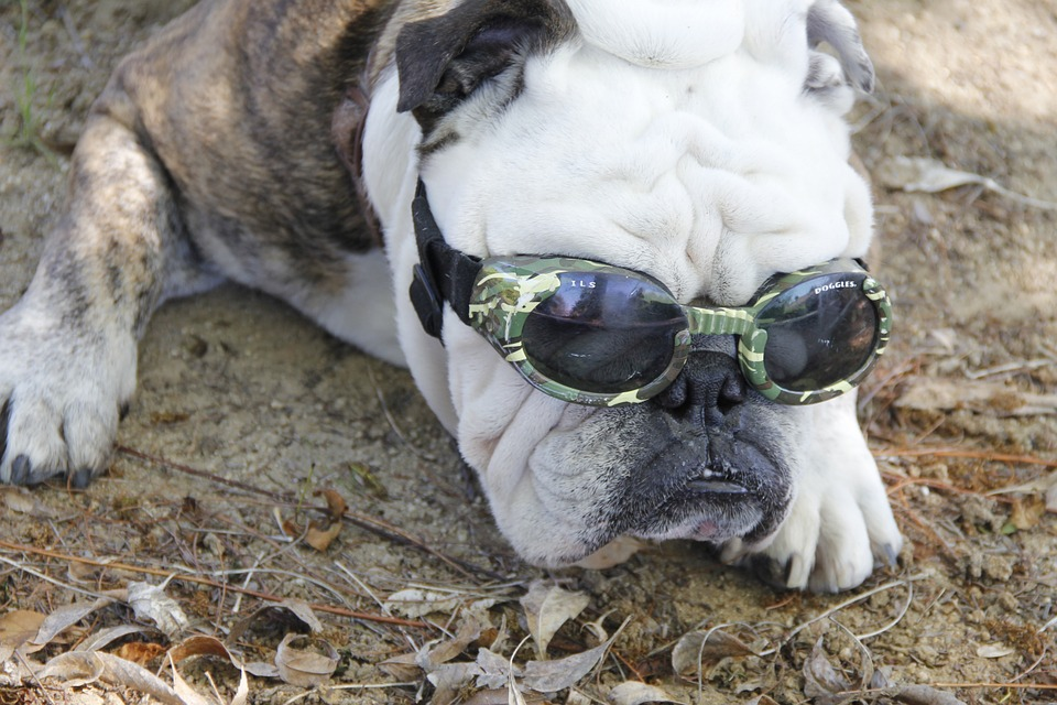 bulldog-719765_960_720