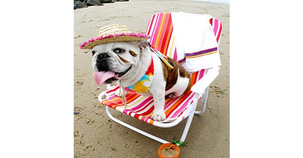 bulldog-at-beach