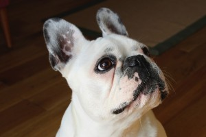 french-bulldog-1104365_960_720