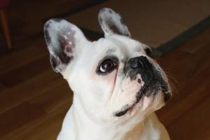 french-bulldog-1104365_960_720