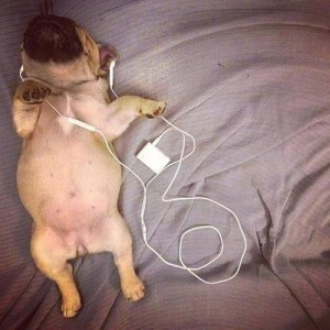 frenchie-listening-to-ipod