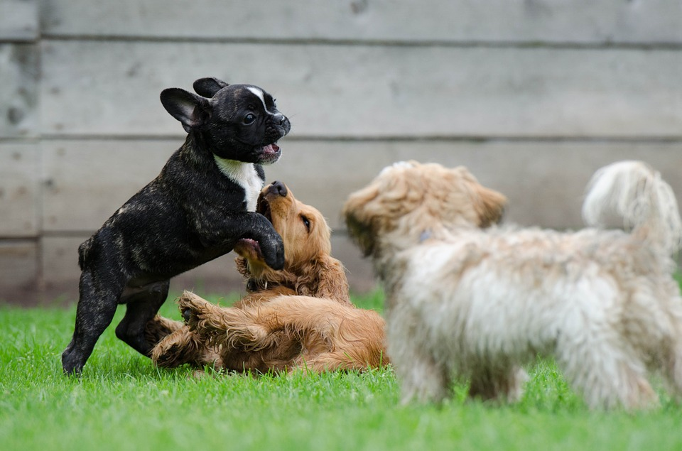 playing-puppies-790638_960_720