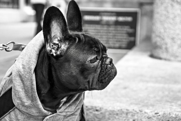 bw-french-bulldog