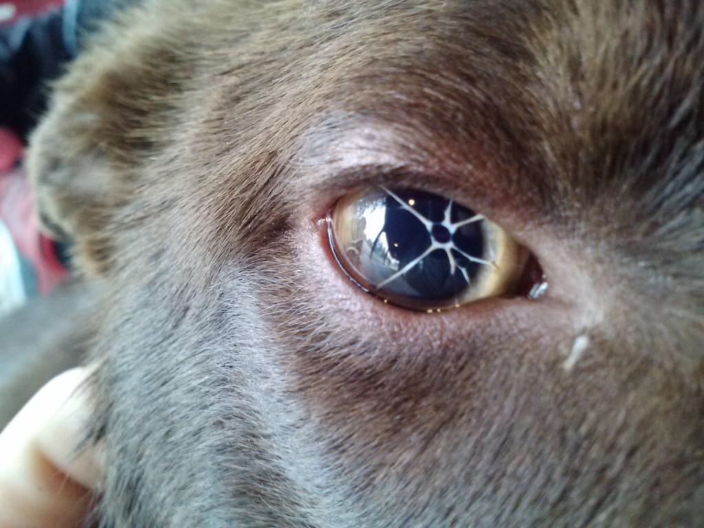 persistent-pupillary-membrane-dog
