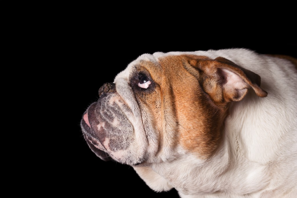 English Bulldog dog canine pet isolated on black background looking up and hopeful curious waiting watching patiently