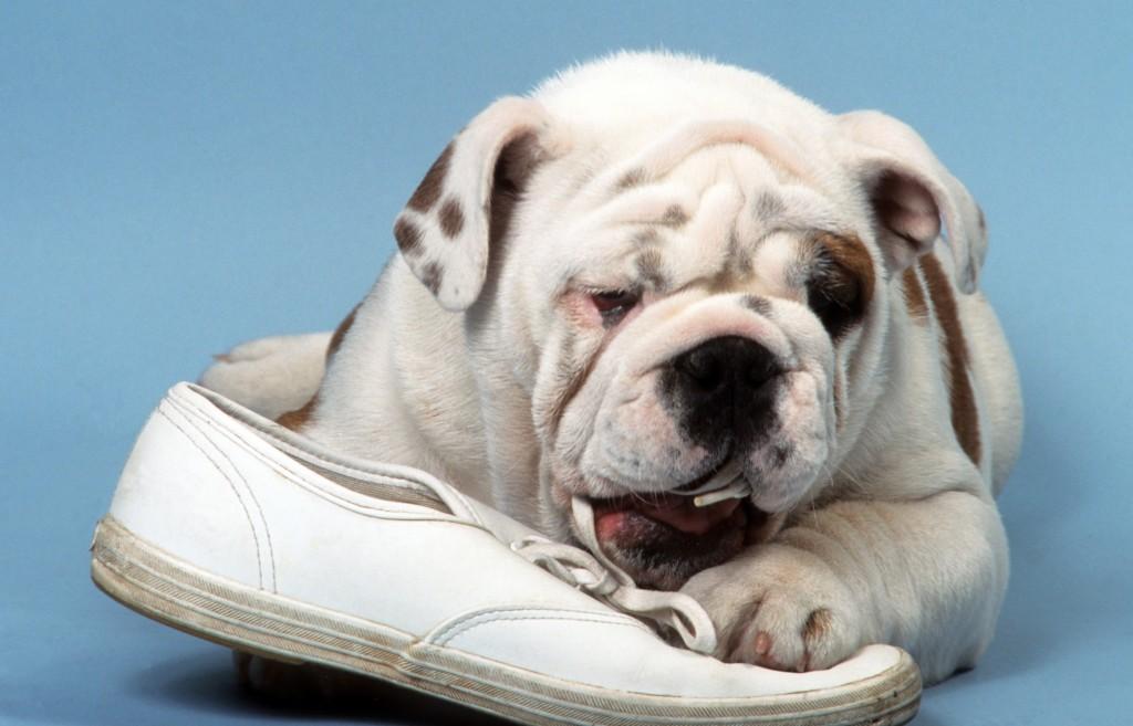 bulldog anglais en train de dtruire une chaussure