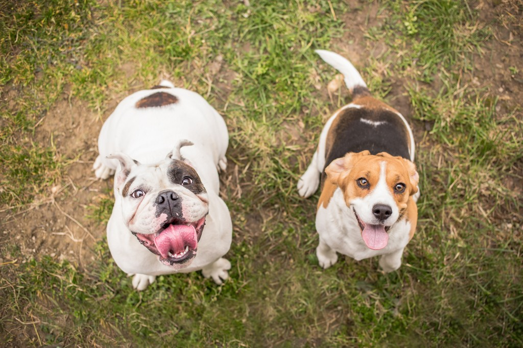 Bulldog and Beagle dog waiting for reward