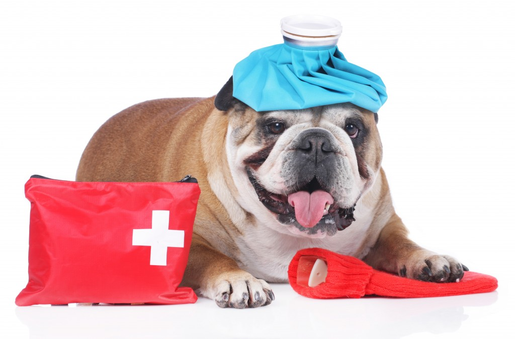 English bulldog with emergency kit